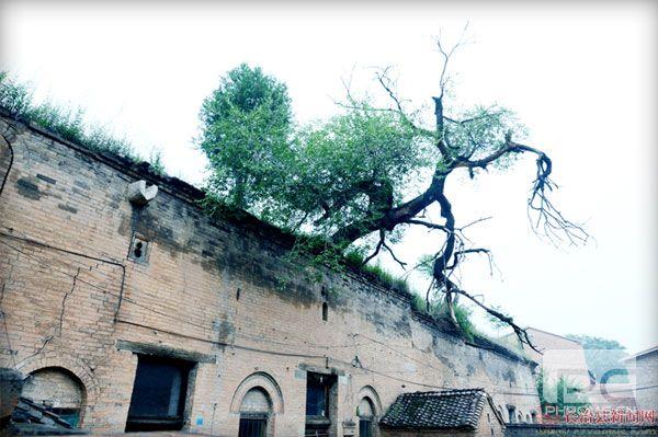 窑头上的老榆树,见证了陈家大院的传奇故事.jpg